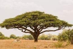 Akazienbaum in Savannah Zimbabwe, Südafrika lizenzfreie stockfotos