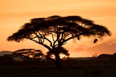 Akazienbaum silhouettiert durch den Sonnenuntergang lizenzfreie stockfotografie