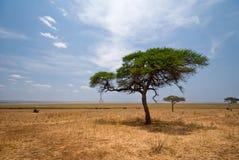 Akazienbaum Tarangire im Nationalpark, Tanzania Stockbilder