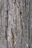 Akazienbaumrinde Stockfotografie
