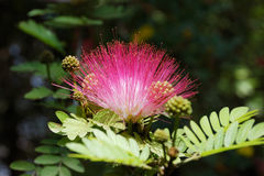 Akazienblüte Stockfoto