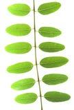 Akazienblatt mit Adern auf einem weißen Hintergrund Lizenzfreies Stockbild