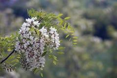 Akazienblumen Lizenzfreies Stockbild