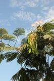 Akazienblumen lizenzfreie stockfotografie