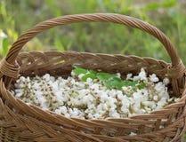 Akazienblumen im Korb auf dem Feld Stockfotos