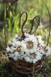 Akazienblumen im Korb auf dem Feld Lizenzfreie Stockbilder