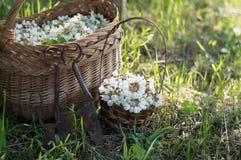 Akazienblumen im Korb auf dem Feld Stockfoto