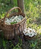 Akazienblumen im Korb auf dem Feld Stockfotografie