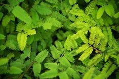 Akaziengrün lässt Naturhintergrund Draufsicht Lizenzfreies Stockbild