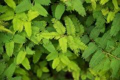 Akaziengrün lässt Naturhintergrund Draufsicht Stockbild