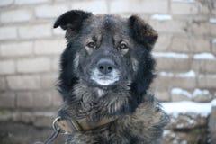 Akbar Caucasian Shepherd Dog Fotos de archivo