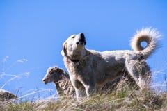Akbash dog guarding a sheep herd stock image