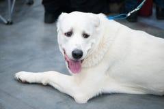Akbash hund på hundshowen, royaltyfri fotografi