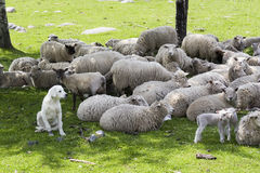 An akbash sheepdog guarding the herd. A herd of sheep being guarded by an akbash sheep dog Stock Photography