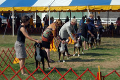 AKC Dog Show. People showing their Greater Swiss Mountain dogs in AKC dog show stock photo