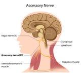 akcesoryjny nerw ilustracja wektor