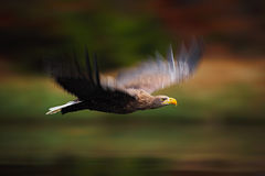 Akci poruszająca scena, Ptasi lot, Haliaeetus albicilla, Ogoniasty Eagle, ptaki zdobycz z lasem w tle, Norwegia Zdjęcia Royalty Free