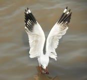 akci seagull Fotografia Royalty Free