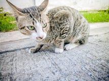 Akcja tematów kota Zwierzęcego zakończenia Śliczny kot Domowy, akcja kot Obraz Stock