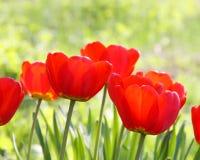 Akcyjna fotografia - wielkanocy lub matek dnia tulipanu karta Fotografia Royalty Free