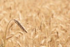 Akcyjnej fotografii złoty pszeniczny pole Fotografia Royalty Free