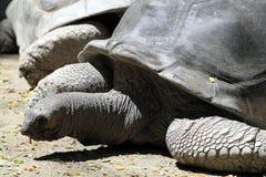 Akcyjny wizerunek Gigantyczny Tortoise Obrazy Stock