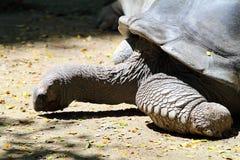 Akcyjny wizerunek Gigantyczny Tortoise Zdjęcia Royalty Free