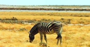 Akcyjny wizerunek przyroda w Afryka?skim parku narodowym zdjęcia royalty free