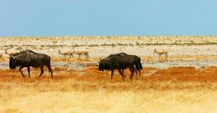 Akcyjny wizerunek przyroda w Afryka?skim parku narodowym fotografia royalty free