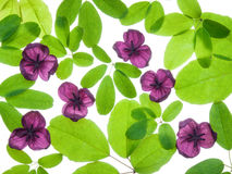 Akebia leaves and flowers Stock Images