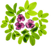 akebia leaves and flowers Royalty Free Stock Images