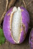 Akebia-quinata Stockfotos