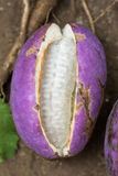 Akebia quinata Stock Photos
