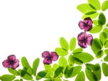 Akebia sidor och blommor Arkivbild