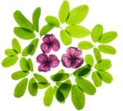 akebiasidor och blommor Royaltyfria Bilder