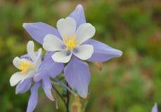 Akelei-Blume Stockfotos