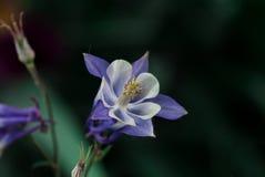 Akelei-Blume Lizenzfreies Stockfoto