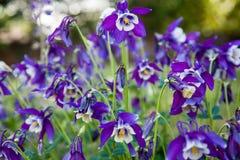 Akelei in der Blüte Lizenzfreie Stockfotos