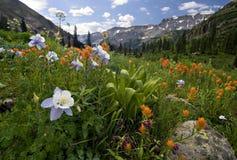 Akelei, Indisch penseel en andere wildflowers, de Jongensbassin van Yankee, Colorado stock foto's