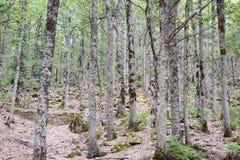 Akfadu skog Arkivbild