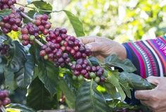 Coffee berries beans harvested by Akha hand. Coffee farmer harvesting coffee beans at the coffee farm stock photos