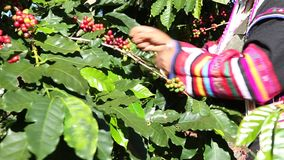 Akha hill picking arabica coffee bean in red and green on its branch tree at plantation,coffee process stock footage