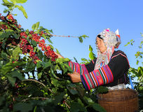 Akha woman picking red coffee beans on bouquet Stock Images