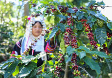 Akha woman picking red coffee beans on bouquet Royalty Free Stock Photos