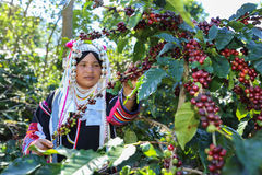 Akha woman picking red coffee beans on bouquet Stock Image