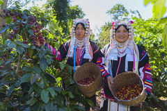 Akha woman picking red coffee beans on bouquet Royalty Free Stock Image