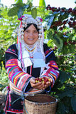 Akha woman picking red coffee beans on hand. Akha woman picking red coffee beans on bouquet at plantation Royalty Free Stock Images