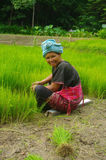 Akha women in the rice field. Woman belonging to ethnic Akha and Yao in northern Thailand. She pulls out plans of rice seedlings for transplanting in the rice Royalty Free Stock Image
