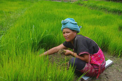 Akha women in the rice field. Woman belonging to ethnic Akha and Yao in northern Thailand. She pulls out plans of rice seedlings for transplanting in the rice Stock Photos