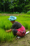 Akha women in the rice field. Woman belonging to ethnic Akha and Yao in northern Thailand. She pulls out plans of rice seedlings for transplanting in the rice Royalty Free Stock Photos
